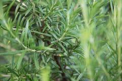 Herbe fraîche de Rosemary images libres de droits