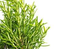 Herbe fraîche de thym Élevage organique frais d'usines de thym d'assaisonnement Images stock