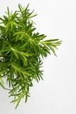 Herbe fraîche de thym Élevage organique frais d'usines de thym d'assaisonnement Photo libre de droits