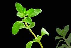Herbe fraîche : marjolaine douce Images stock
