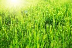 herbe fraîche proche de baisses de rosée vers le haut Horizontal en été images libres de droits