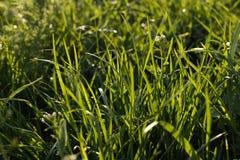 Herbe fraîche verte début mai, plein cadre, utilisé comme fond photos stock