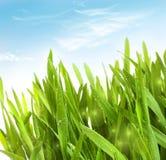 Herbe fraîche de blé avec des baisses de rosée Images libres de droits