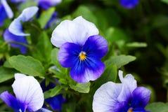 Herbe frangée d'iris images libres de droits