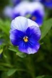 Herbe frangée d'iris photo stock
