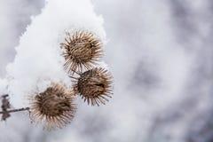 Herbe givrée de bardane dans la forêt neigeuse, temps froid dans le matin ensoleillé images stock