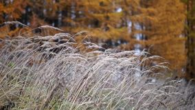 Herbe grande, arbres de mélèze jaunes banque de vidéos