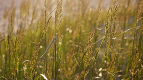 Herbe grande balançant dans le coucher du soleil clips vidéos
