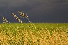 Herbe grande contre le ciel sombre image libre de droits