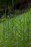 Herbe humide Photos libres de droits