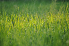 Herbe humide photo stock