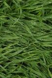 Herbe humide Photos stock