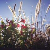 Herbe indigène avec les fleurs rouges lumineuses dans Nannup, WA Photo stock