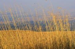 Herbe jaune Image stock
