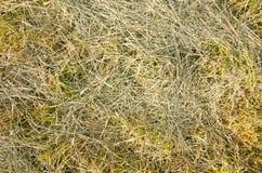 Herbe jaune de texture Photos libres de droits