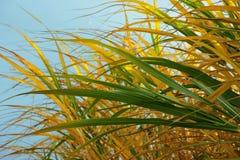 Herbe jaune et verte sur le fond de ciel bleu images stock