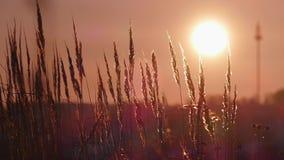 Herbe jaune sur un coucher du soleil de fond banque de vidéos