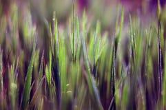 Herbe lumineuse pendant le matin - un fond abstrait d'image Images stock