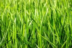 Herbe lumineuse verte Photographie stock