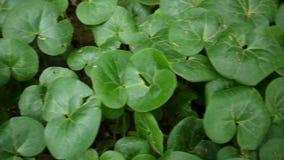 Herbe médicale d'europaeum d'Asarum Plante verte de mouvement lent de panorama avec le steadicam banque de vidéos