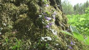 Herbe médicinale - le spicata de mentha ou la menthe, mintha grec de mentha, est un genre des usines dans le lamiaceae de famille banque de vidéos