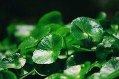 Herbe m?dicale de feuilles de Centella de feuille verte asiatica de nature ? l'arri?re-plan de jardin/au Pennywort asiatique images libres de droits