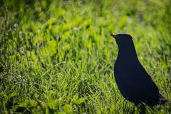 Herbe noire d'oiseau Image stock