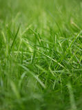 Herbe normale Image stock