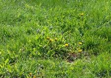 herbe ONU-fauchée avec l'élevage de pissenlits Image stock