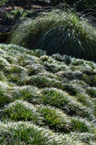 Herbe ornementale Photographie stock