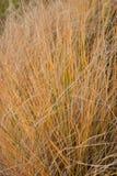 Herbe ornementale Image stock