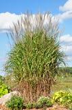 Herbe ornementale de flamme (Miscanthus) Images libres de droits