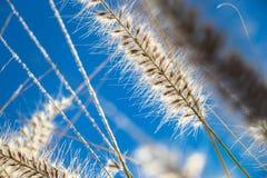 Herbe ornementale sauvage fleurissante Image libre de droits