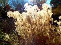Herbe ornementale soufflant en vent éclairé à contre-jour par le soleil photo stock