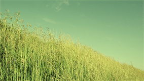 Herbe, pâturage, pré, vent, ciel, chaud, oscillation, vert, été, nature, pailles, tiges banque de vidéos