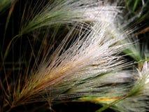 Herbe pelucheuse étroit d'herbe de gisement de rosée de profondeur Photo libre de droits
