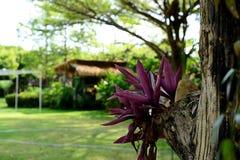 Herbe pourpre de Spathacea de Tradescantia sur l'arbre avec le fond ébarbé image libre de droits