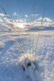 Herbe poussant par la neige Photographie stock