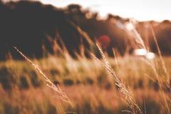 Herbe rougeâtre quand coucher du soleil image libre de droits