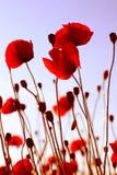 Herbe rouge Image libre de droits