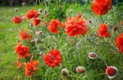 Herbe rouge Photo stock