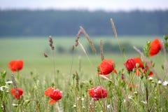 Herbe rouge photos stock