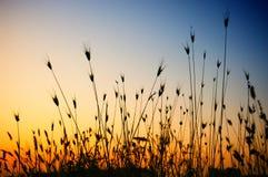Herbe sèche au coucher du soleil Photos libres de droits