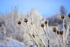 Herbe sèche avec la neige Images stock