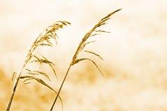herbe sèche d'automne Photos libres de droits