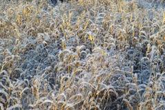 Herbe sèche d'automne sous la neige Photos stock