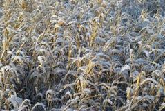 Herbe sèche d'automne sous la neige Images stock