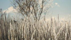 Herbe sèche dans la neige Panicles d'herbe sèche enveloppé en flocons de neige contre clips vidéos