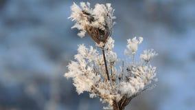 Herbe sèche dans la neige Panicles d'herbe sèche enveloppé en flocons de neige contre banque de vidéos