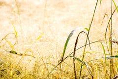 herbe sèche de zone Photographie stock